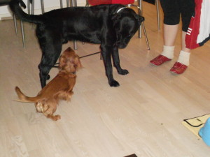 the dog leading the other dog - so funny!