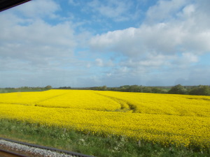 yellow fields of Denmark...SO PRETTY!!!!!